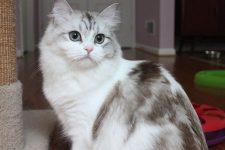 gato raza ragamuffin características e imagenes