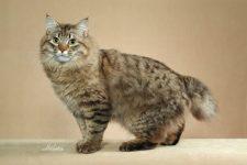 raza de gato Bobtail americano de pelo largo