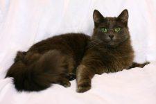 raza de gato de pelo largo Gato york chocolate