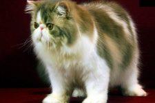 razas de gatos de persas