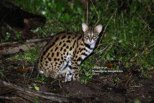 Gato Leopardo Salvaje Prionailurus bengalensis