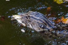 Gato Salvaje Pescador Prionailurus viverrinus
