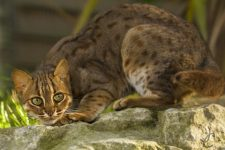 Gato salvaje Herrumbroso