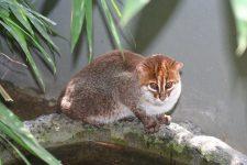 gato de cabeza plana-Prionailurus planiceps-Flat-headed Cat