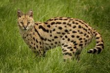 Gato Salvaje serval Leptailurus serval