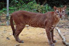 gato dorado africano-caracal aurata