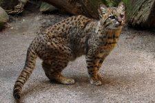 gato montés sudamericano o gato de Geoffroy (Leopardus geoffroyi)