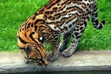 Gato Tigre Oncilla ( Leopardus tigrinus )